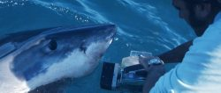 South Australia. Ron Taylor filming a White Shark for his first ever documentary about Great Whites.